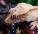 crested-gecko-05.png