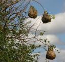 weaver-nests.jpg