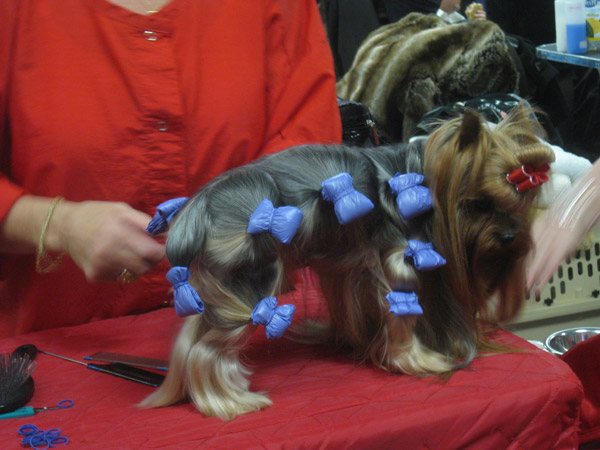 Iceland And The Westminster Kennel Club Dog Show 171 Design