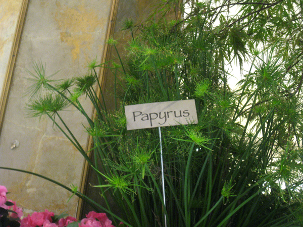 Papyrus Plant Drawing Additional Flower Show Photos
