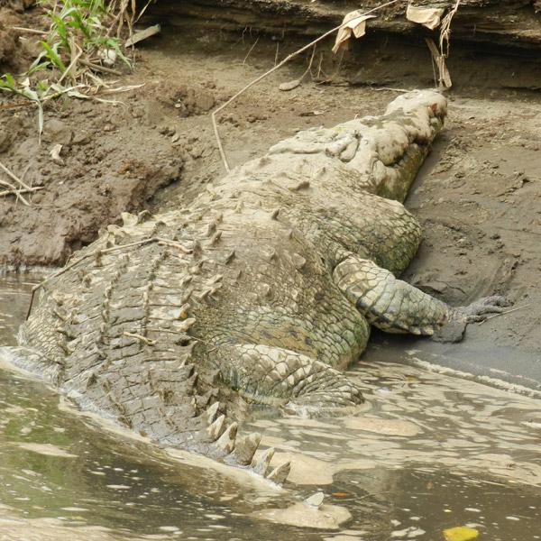 Questões e Fatos sobre Crocodilianos gigantes: Transferência de debate da comunidade Conflitos Selvagens.  - Página 2 Crocodile3