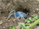 blue-crab1