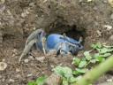 blue-crab1