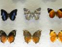 case-butterflies6