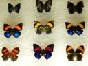 case-butterflies7