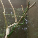 green-vine-snake