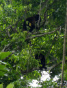 howler-monkey3