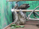 sloth-threearms