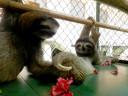 sloths-hibiscus2