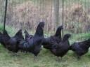 Ayam-Cemani-2