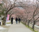 cherry-blossom-town13