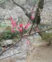 plum-blossom2