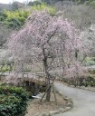 plum-blossom3