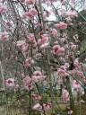 plum-blossom4