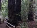 muir-wood3