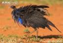 Vulturine-guineafowl-ruffling-feathers