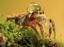 jumping-spider-waterdrop-hats-uda-dennie-4