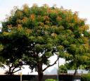 durban-orange-tree1.jpg