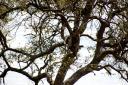 leopard-in-tree1.jpg