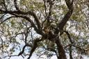 leopard-in-tree2.jpg