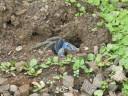 blue-crab2