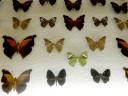case-butterflies1