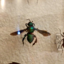 green-orchid-bee