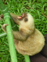 sloth-baby5