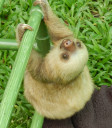 sloth-baby6