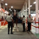 clydesdale2