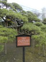 300-year-old-pine-tree2