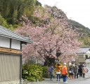 cherry-blossom-town5