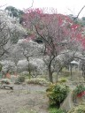 plum-blossom7
