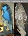 owl-plumage