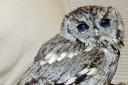 rescued-blind-owl-zeus-71-624x418