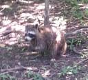alligators-raccoons1