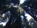 muir-wood9