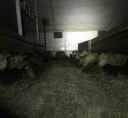 sheep-farm4