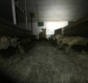 sheep-farm5