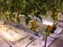 tomato-greenhouse7